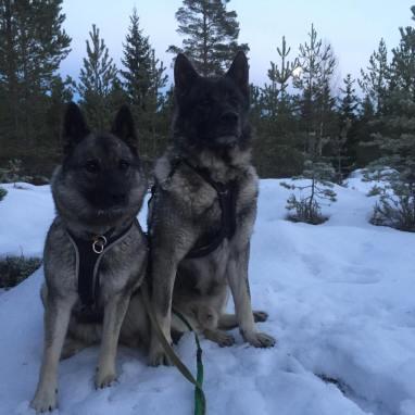 Föret blev inte alls något vidare efter snön som kom tidigt i november, skarpt och isigt. När det inte gått att jaga har vi ägnat oss åt träning isället.